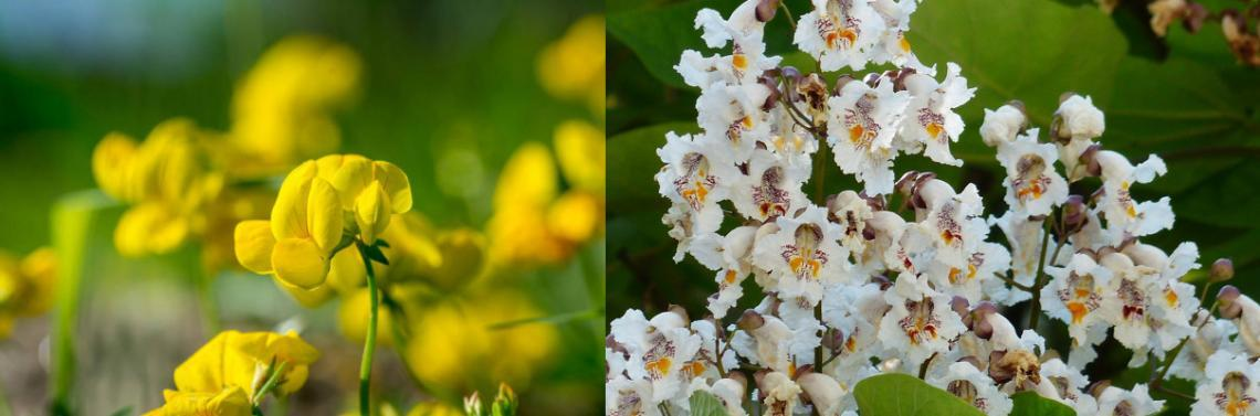 A photo of bird's-foot trefoil, a yellow flower, and catalpa, a white flower with reddish veins on the inner part of the petals